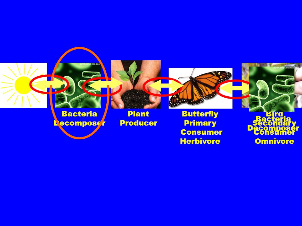 Bacteria Decomposer. Plant. Producer. Butterfly. Primary. Consumer. Herbivore. Bird. Secondary.