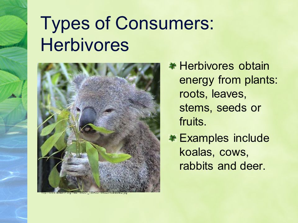Types of Consumers: Herbivores