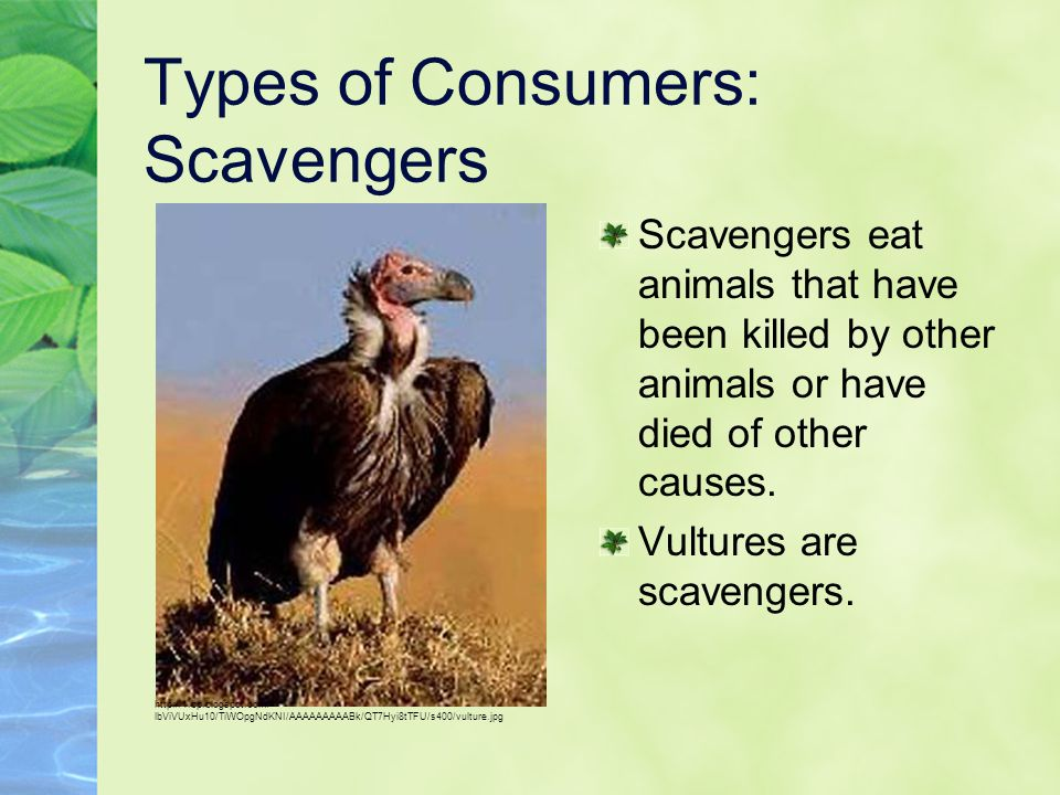 Types of Consumers: Scavengers