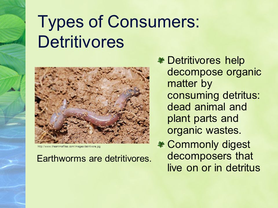 Types of Consumers: Detritivores