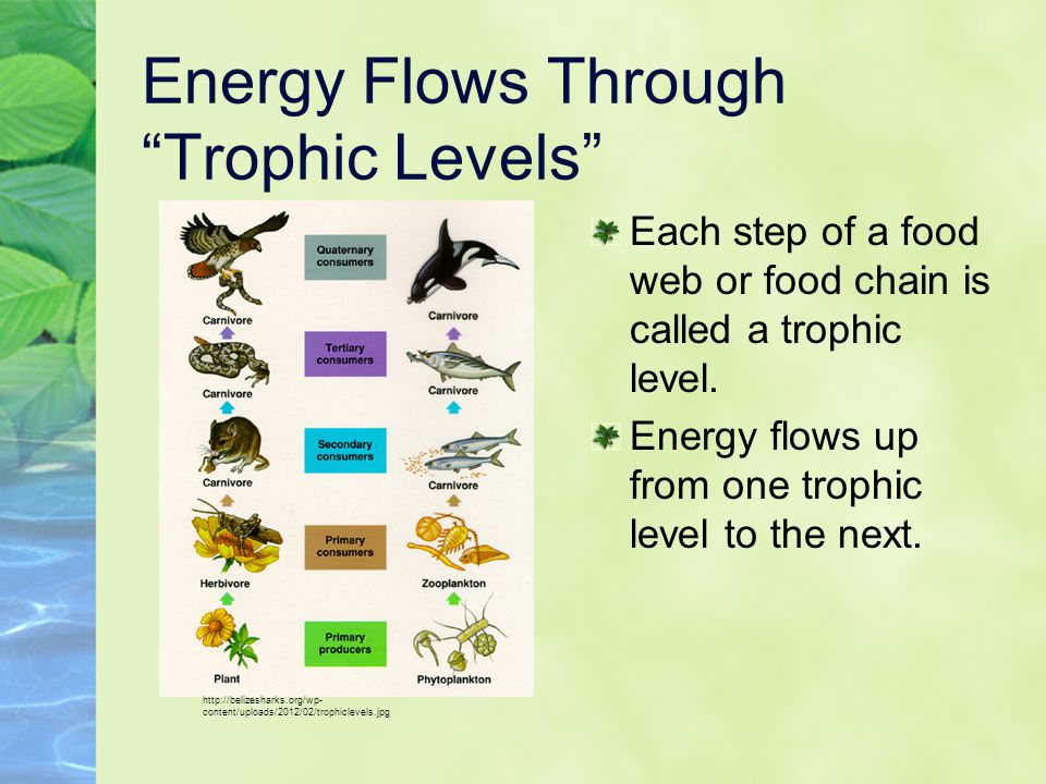 Energy Flows Through Trophic Levels