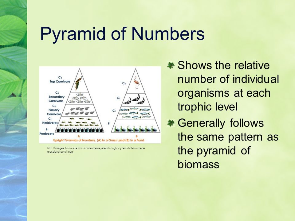 Pyramid of Numbers Shows the relative number of individual organisms at each trophic level.