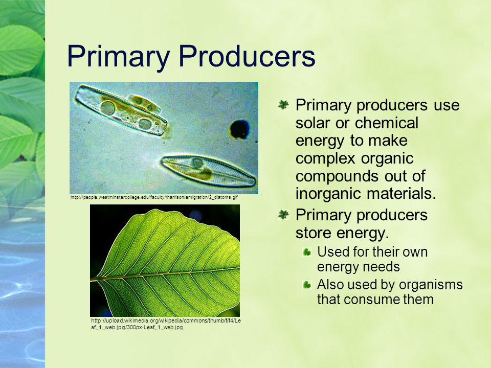 Primary Producers Primary producers use solar or chemical energy to make complex organic compounds out of inorganic materials.