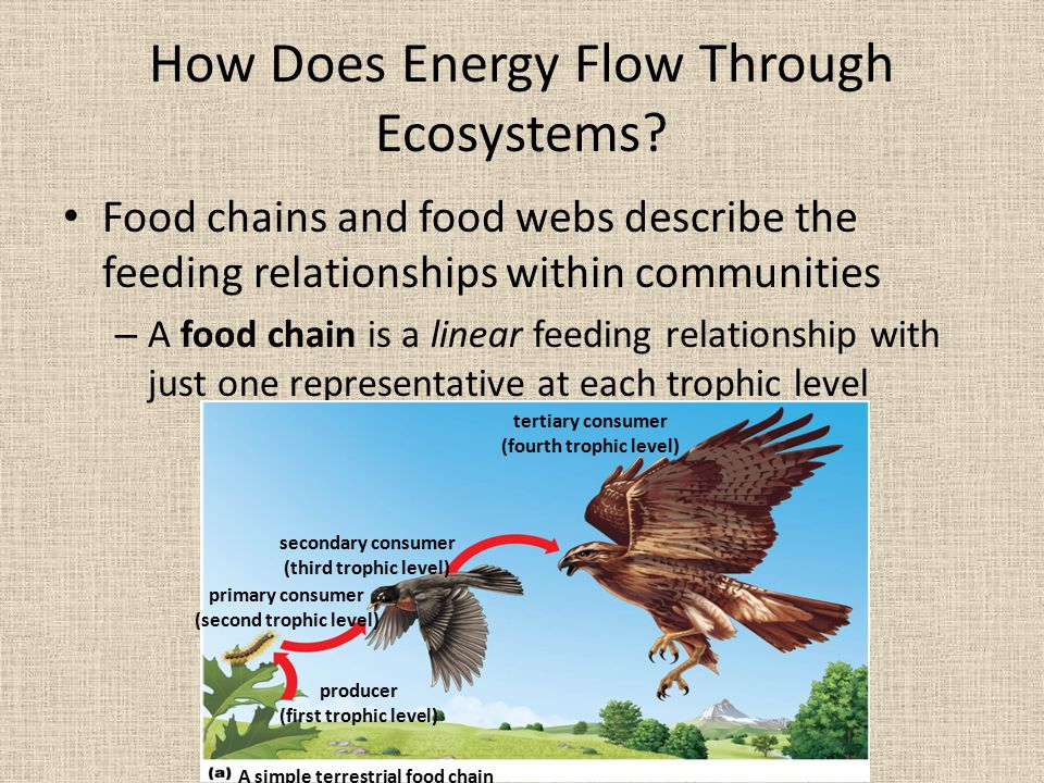 relationship between trophic level and energy flow through an ecosystem