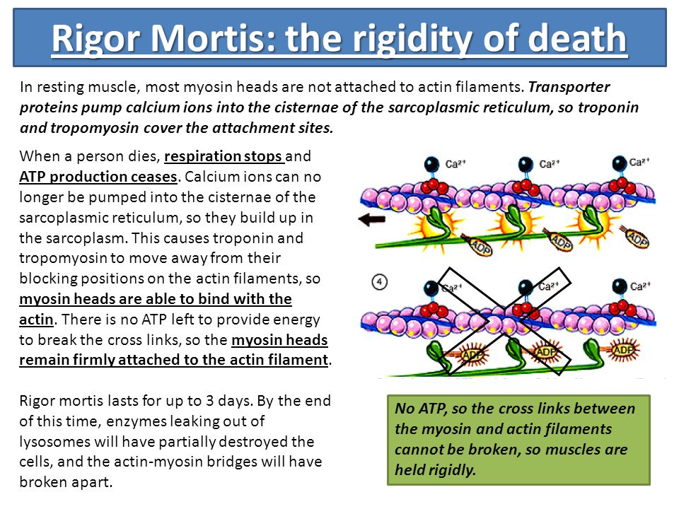the relationship between cellular respiration muscle contraction and rigor mortis