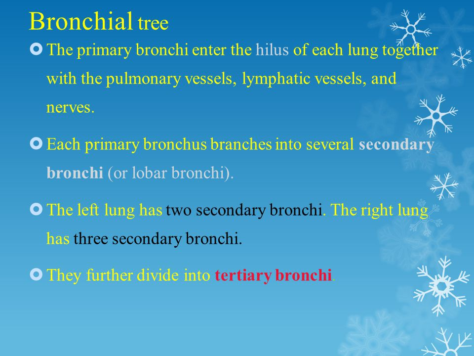 Bronchi Right primary bronchus is shorter, wider, and more vertically oriented than the left primary bronchus.