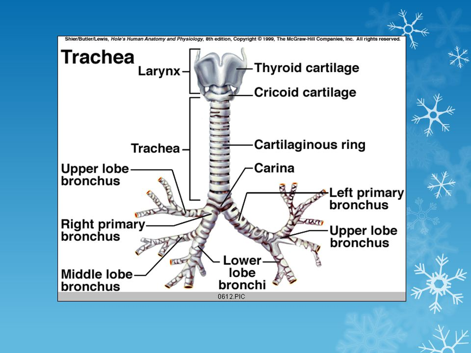 Trachea Cartilage rings reinforce and provide rigidity to the tracheal wall to ensure that the trachea remains open at all times.