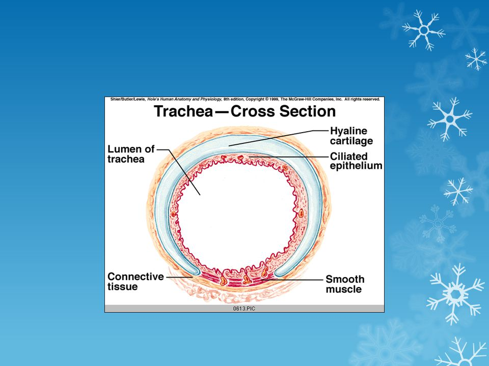 Trachea Termination: At the level T4 (sternal angle),