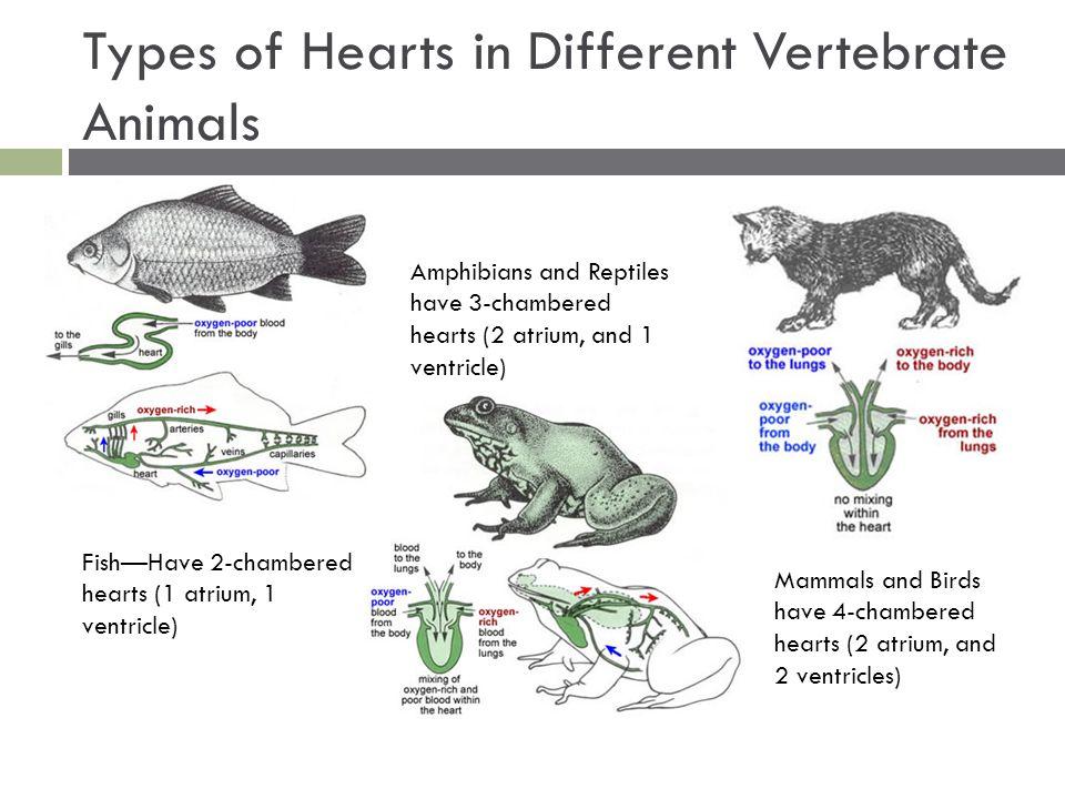 AP Biology Animal Form...