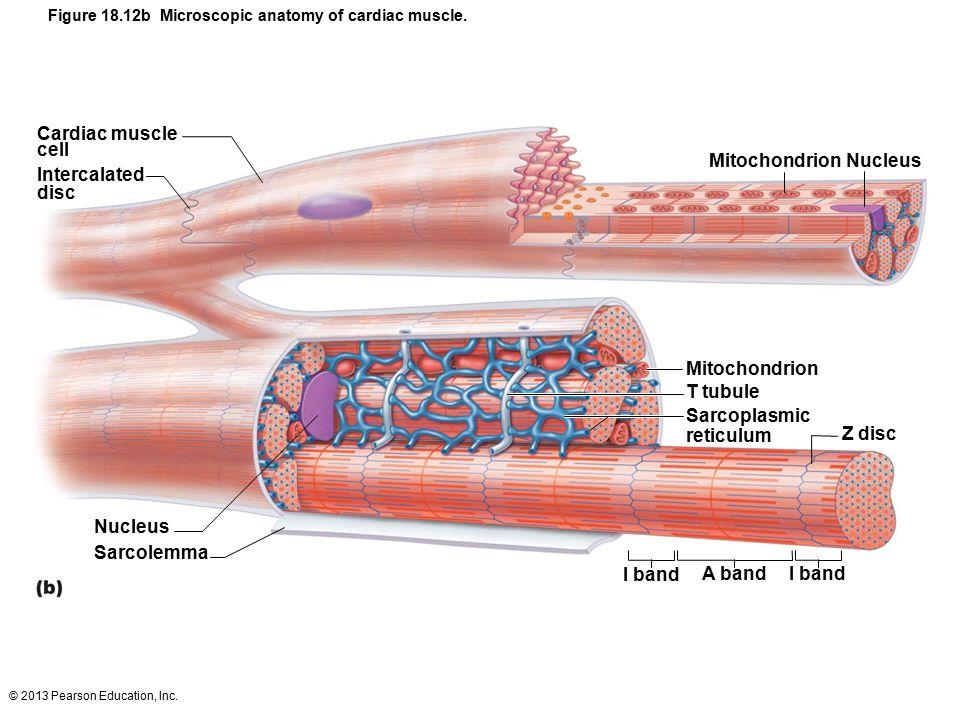 Anatomy of cardiac muscle