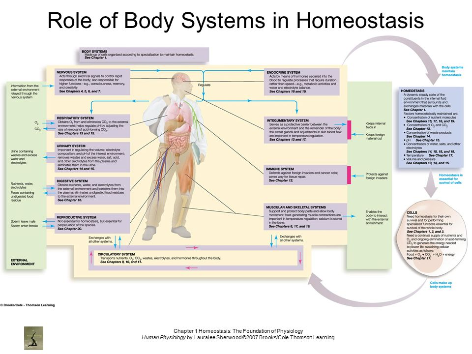 essay on homeostasis in the human body The conditions inside our body must be very carefully controlled if the body is to function effectively homeostasis is the maintenance of a constant internal environment the nervous system.