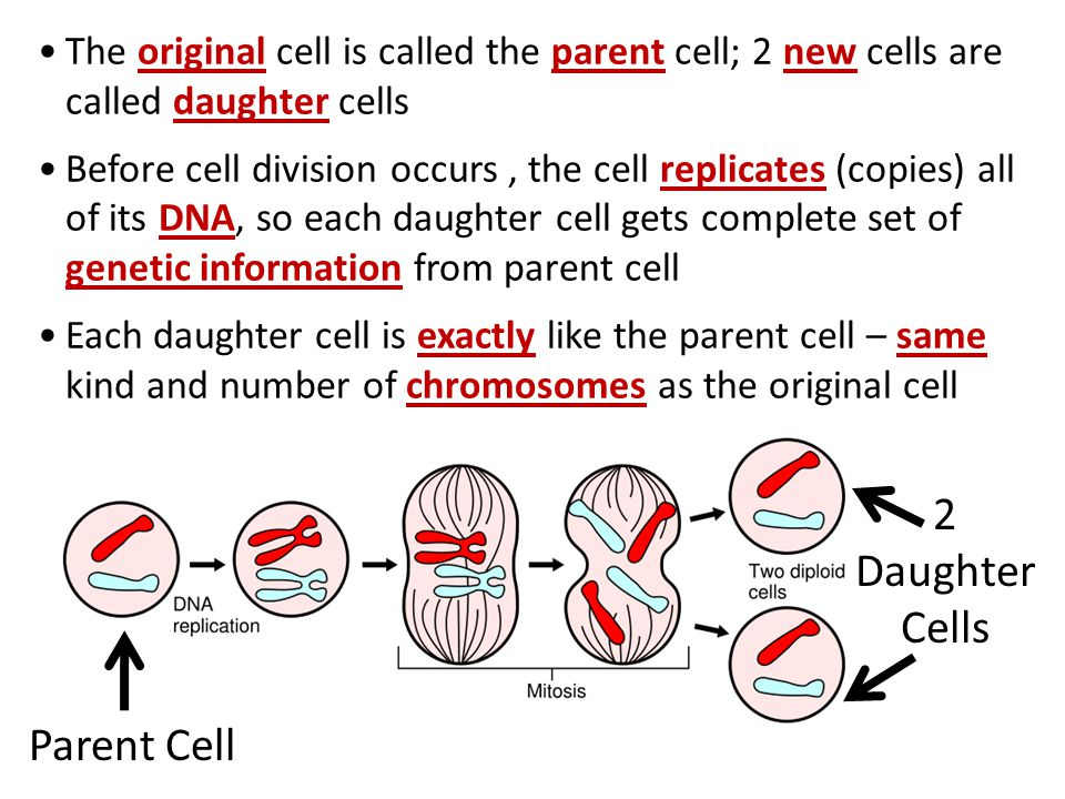 relationship between parent cell and daughter biology