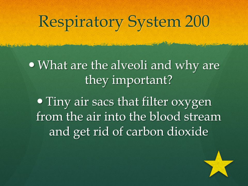 What are the alveoli and why are they important