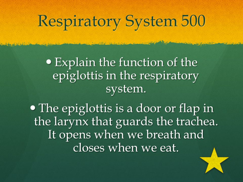Explain the function of the epiglottis in the respiratory system.