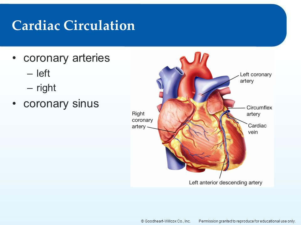 Coronary Artery Anatomy Ppt Choice Image - human body anatomy