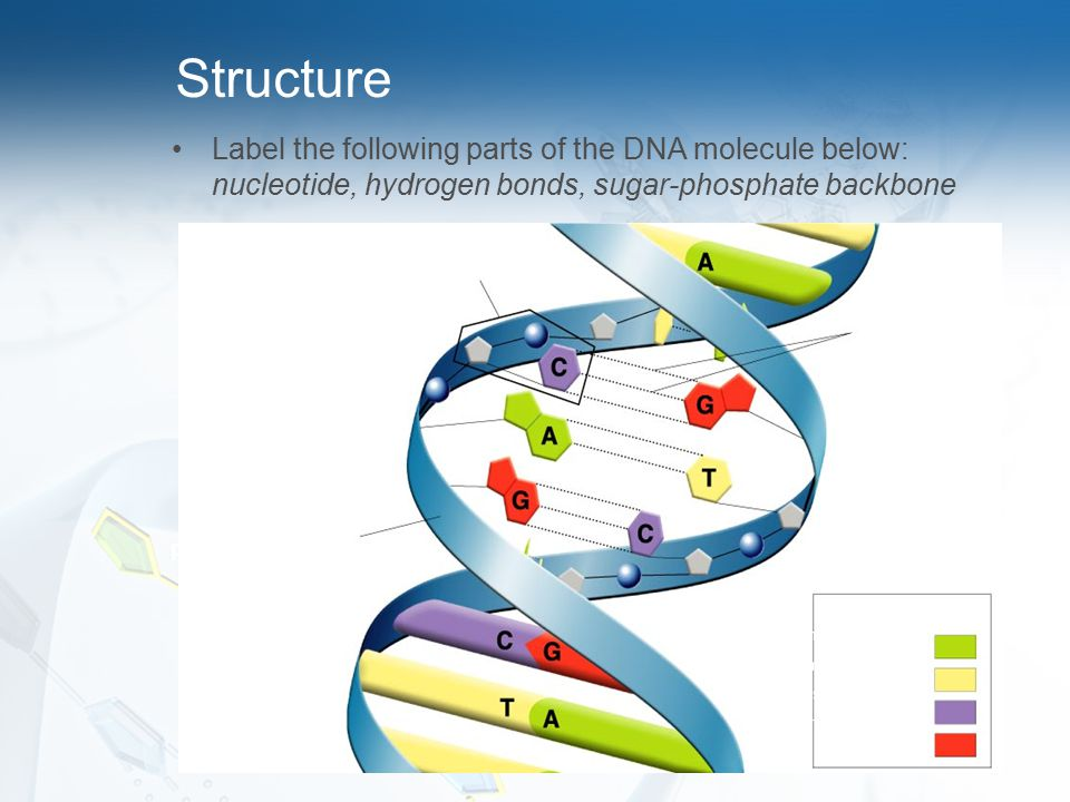 Structure Label the following parts of the DNA molecule below: nucleotide, hydrogen bonds, sugar-phosphate backbone.