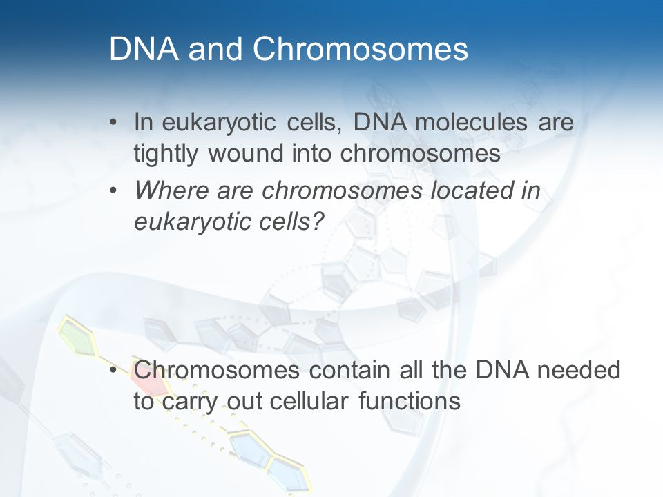 DNA and Chromosomes In eukaryotic cells, DNA molecules are tightly wound into chromosomes. Where are chromosomes located in eukaryotic cells