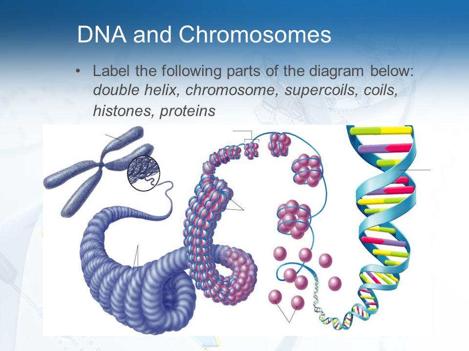 DNA and Chromosomes Label the following parts of the diagram below: double helix, chromosome, supercoils, coils, histones, proteins.