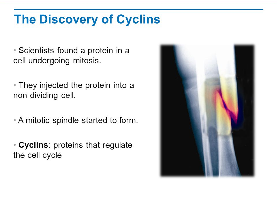 The Discovery of Cyclins