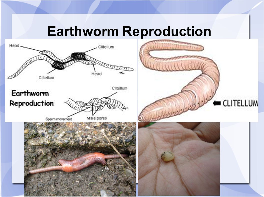 chapter 11 phylum annelida segmented worms ppt video online