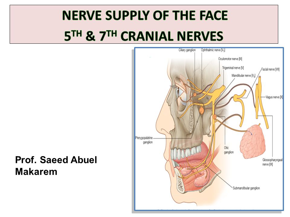 NERVE SUPPLY OF THE FACE 5TH & 7TH CRANIAL NERVES