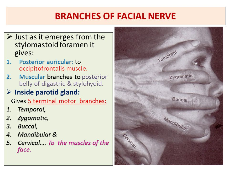 Nerve Supply Of The Face 5th Amp 7th Cranial Nerves Ppt