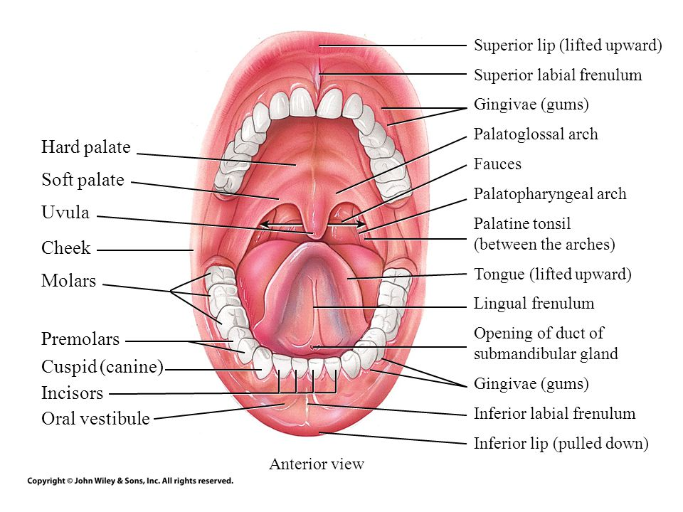 The Anatomy Of Tongue In Cheek