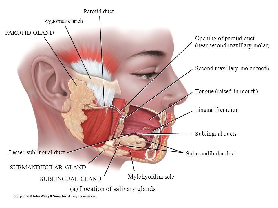 (a) Location of salivary glands