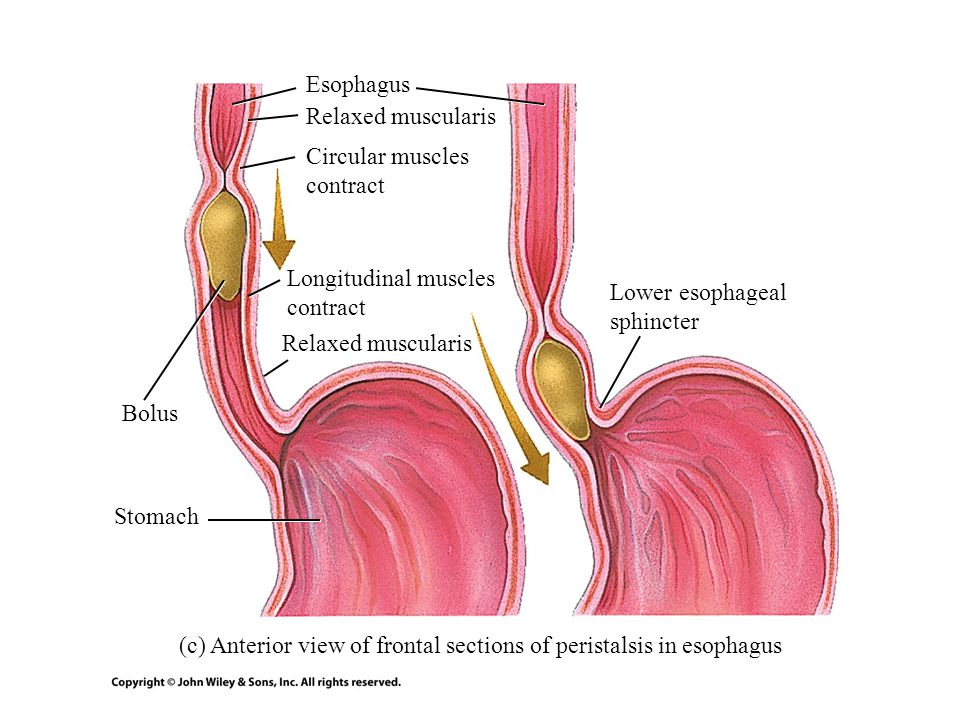 (c) Anterior view of frontal sections of peristalsis in esophagus