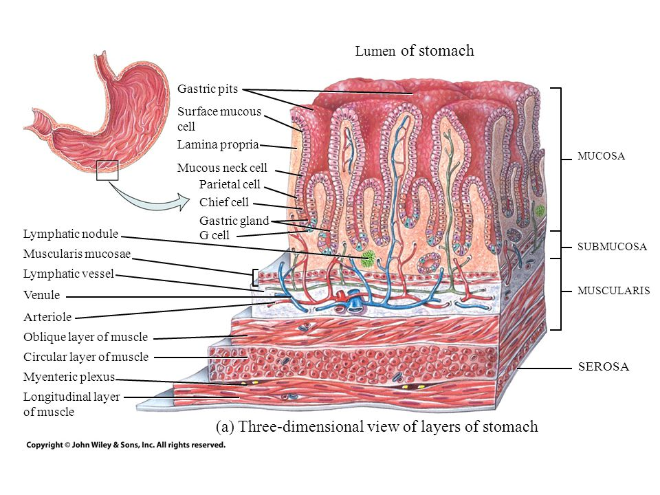 (a) Three-dimensional view of layers of stomach