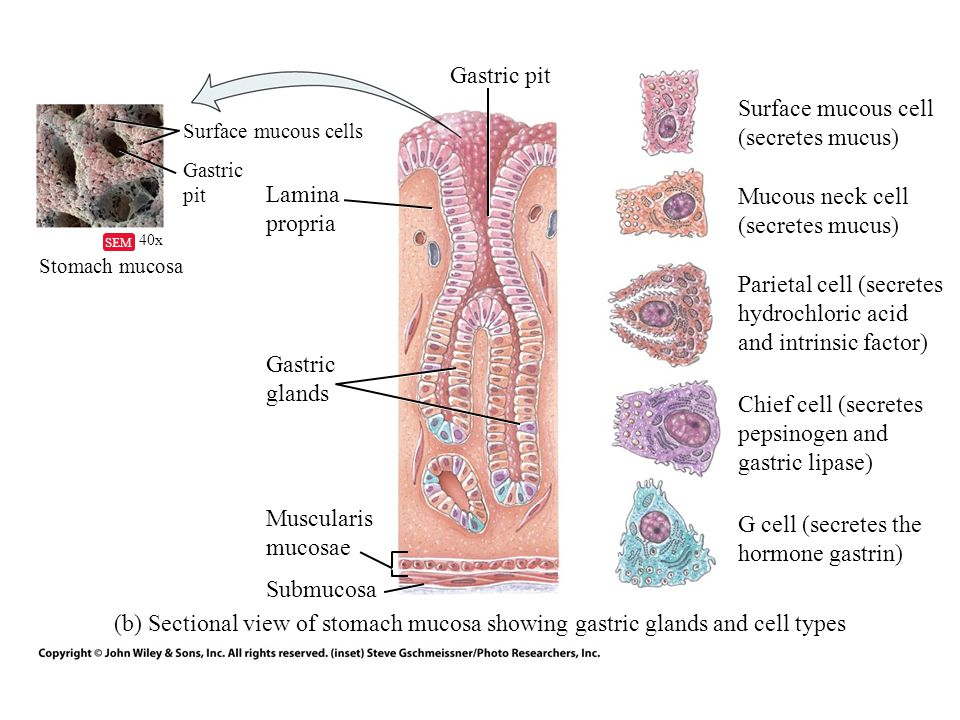 Surface mucous cell (secretes mucus)