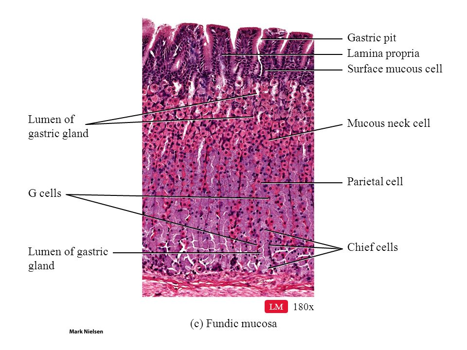 Gastric pit Lamina propria Surface mucous cell Lumen of gastric gland