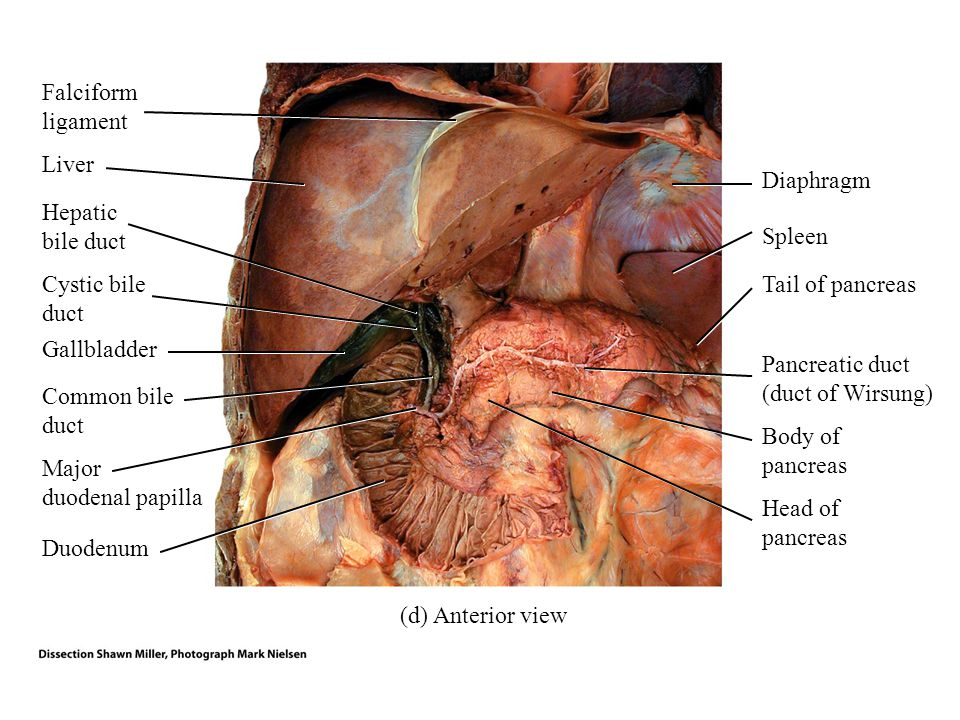 Falciform ligament Liver. Diaphragm. Hepatic bile duct. Spleen. Cystic bile duct. Tail of pancreas.