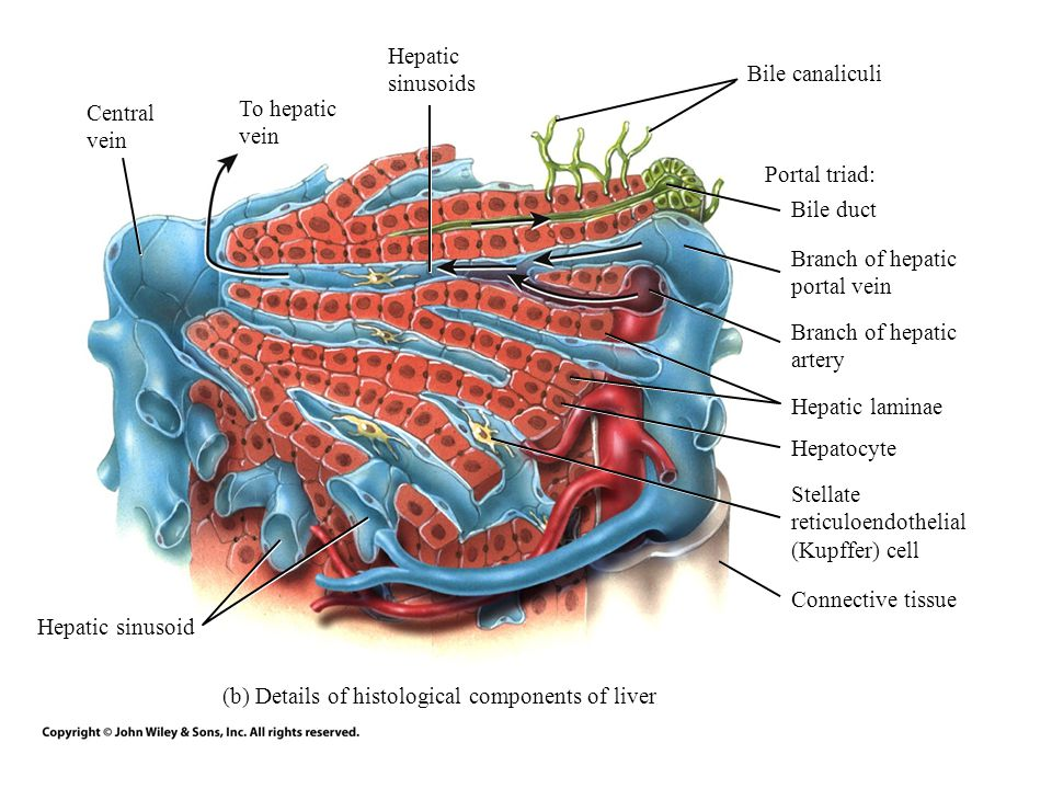 (b) Details of histological components of liver