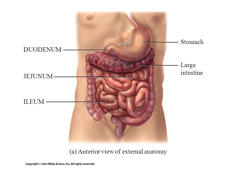 Tolle Anatomy Of Stomach And Duodenum Ideen - Menschliche Anatomie ...