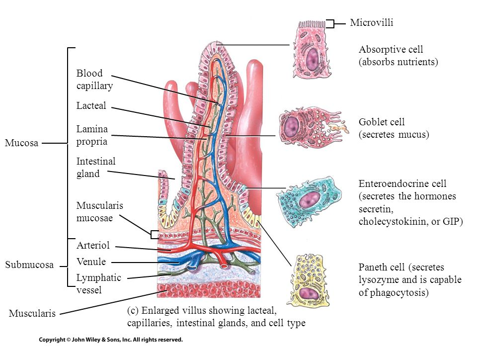 Microvilli Absorptive cell (absorbs nutrients) Blood capillary. Lacteal. Goblet cell (secretes mucus)