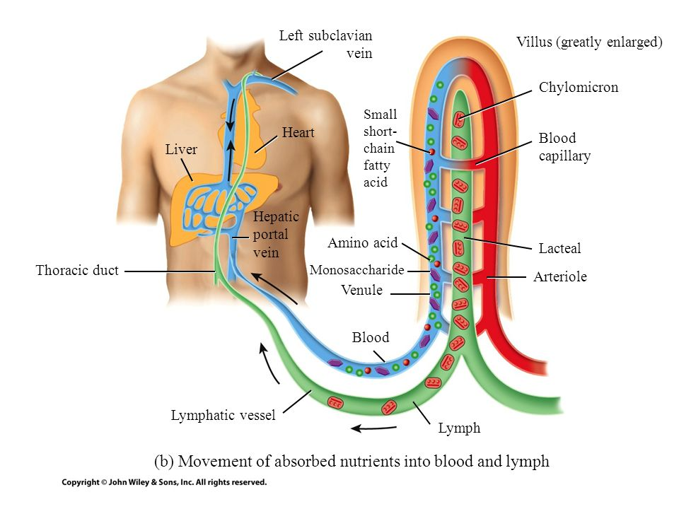 (b) Movement of absorbed nutrients into blood and lymph