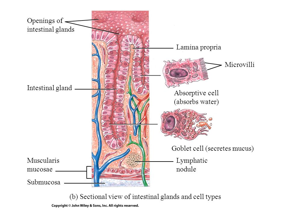 (b) Sectional view of intestinal glands and cell types