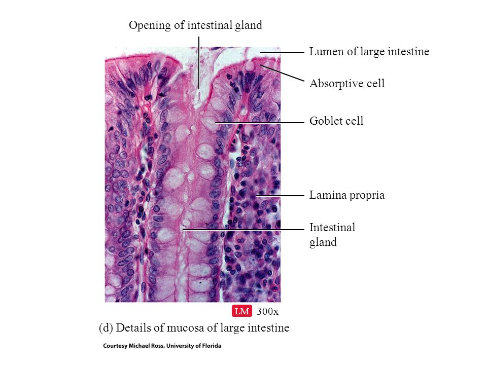 (d) Details of mucosa of large intestine