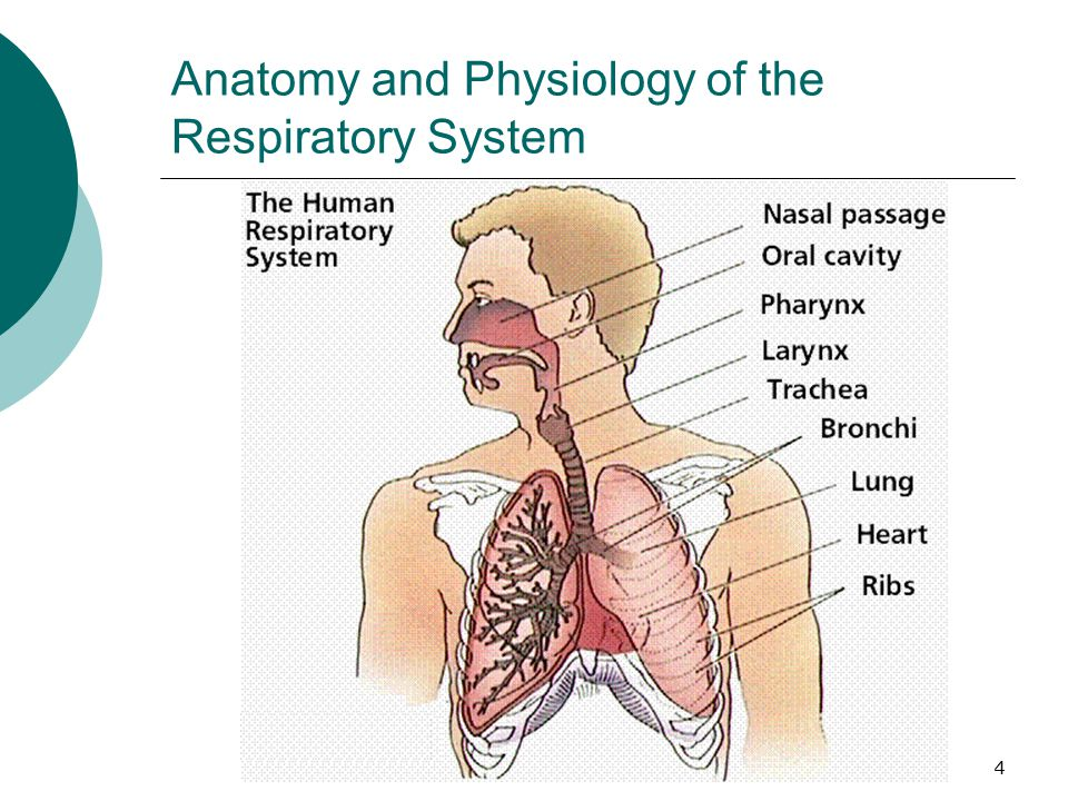Anatomy and physiology of the respiratory | Coursework Help ...