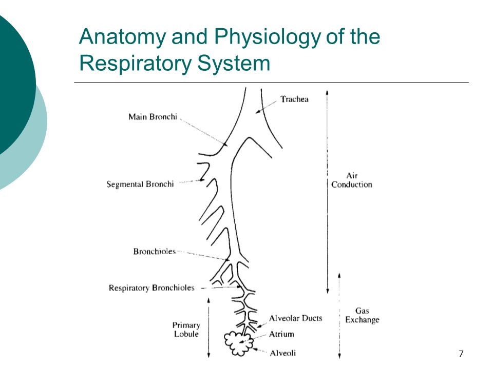 Respiratoryanatomy Power Point: Ppt Video Online Download