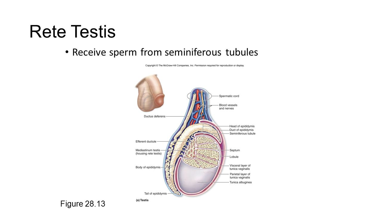 Rete Testis Choice Image - human anatomy organs diagram