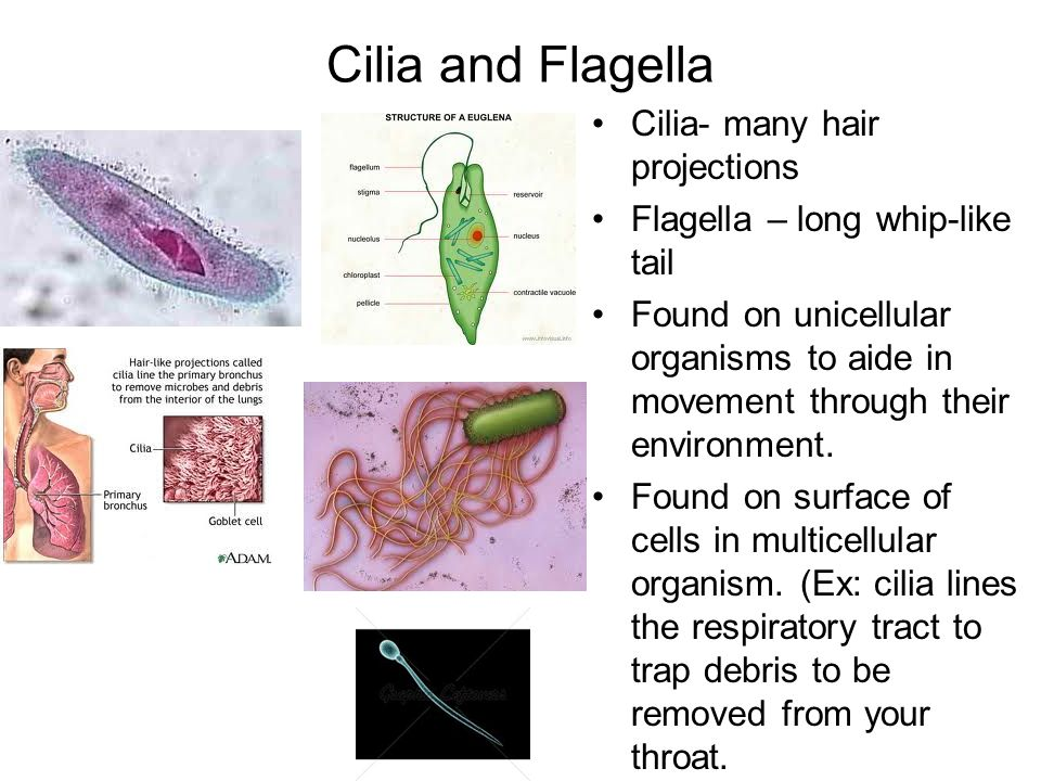 Organelles and Cells. - ppt video online download