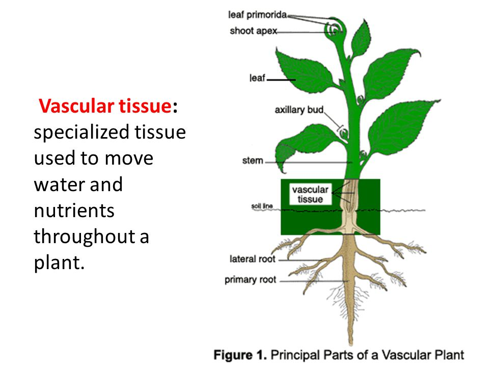 Vascular tissue: specialized tissue used to move water and nutrients throughout a plant.