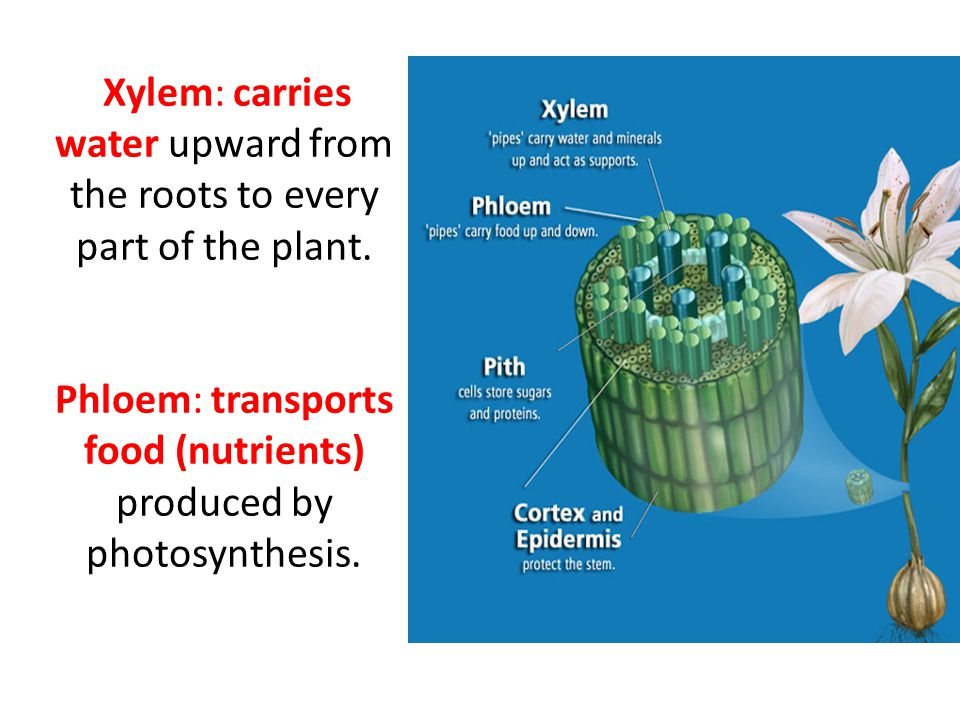 Xylem: carries water upward from the roots to every part of the plant