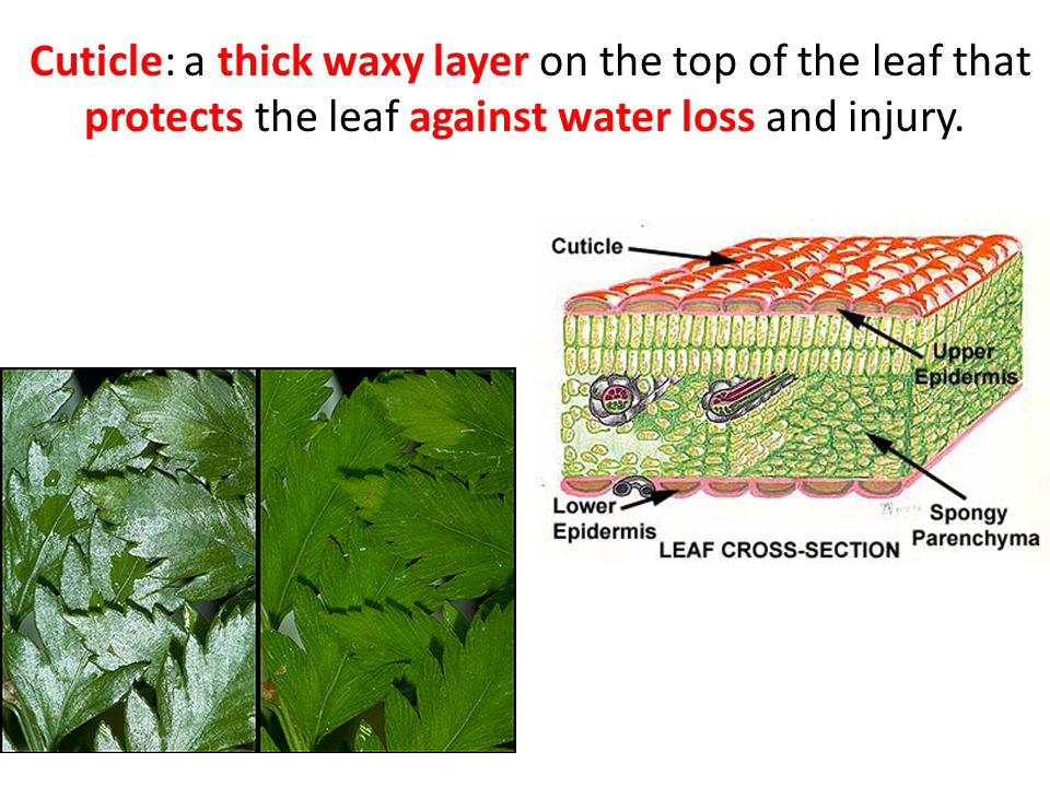 Cuticle: a thick waxy layer on the top of the leaf that protects the leaf against water loss and injury.