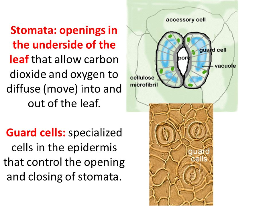 Stomata: openings in the underside of the leaf that allow carbon dioxide and oxygen to diffuse (move) into and out of the leaf.