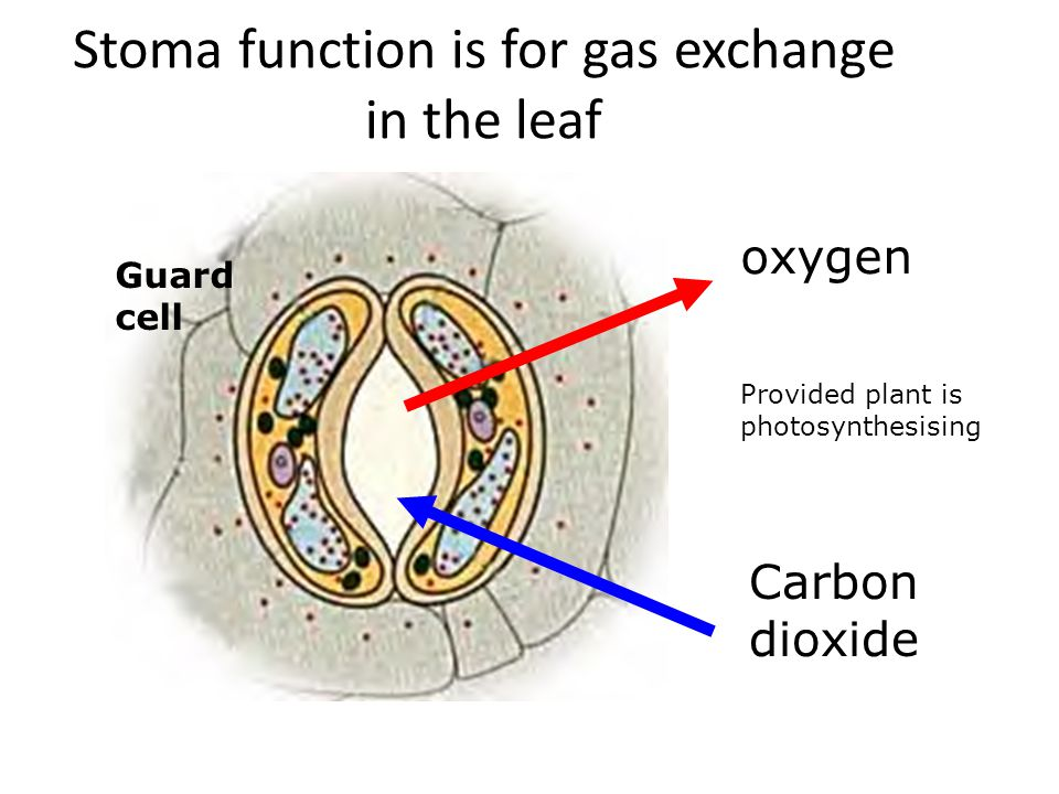 Stoma function is for gas exchange in the leaf
