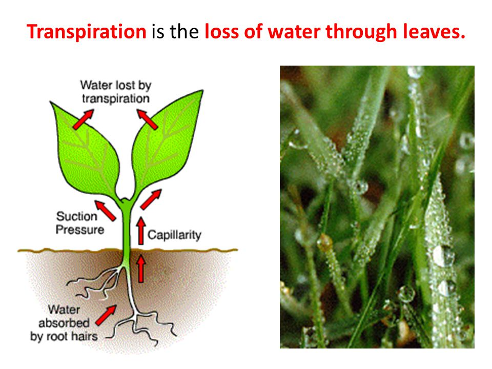 Transpiration is the loss of water through leaves.