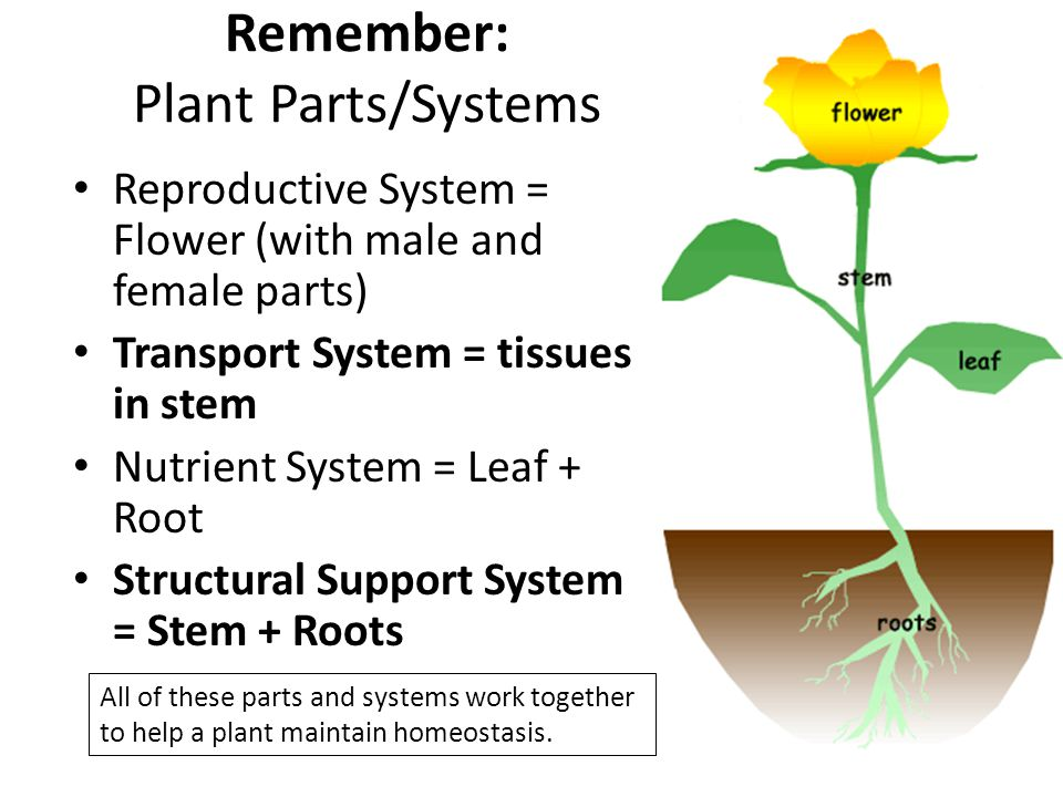 Remember: Plant Parts/Systems